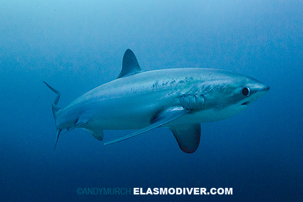 Thresher shark in the blue.