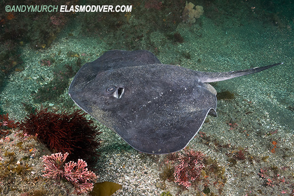 Pitted Stingray