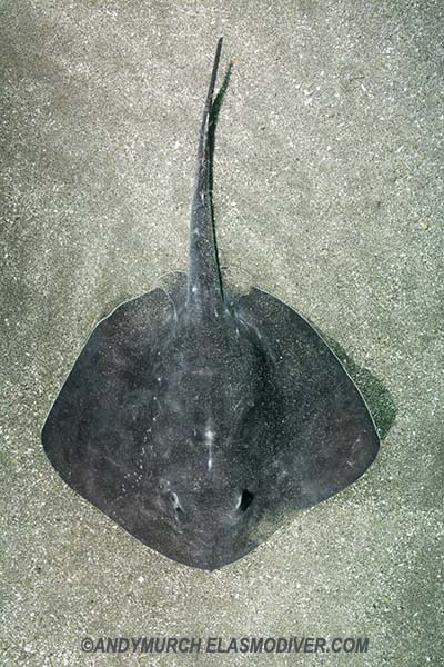 Short-tail Stingray Images. Pictures of Bathytoshia ...