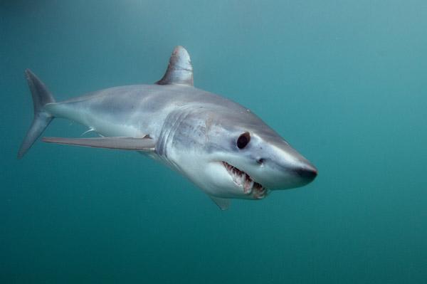 Mako Shark Pictures 121