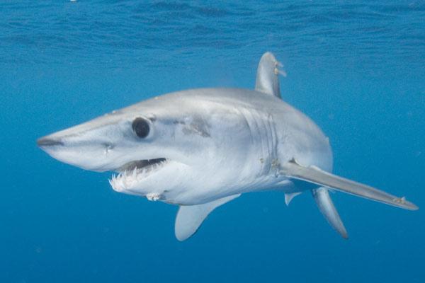 Mako Shark Pictures 11