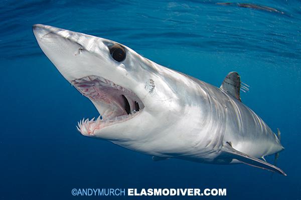 Shortfin Mako Shark Pi...