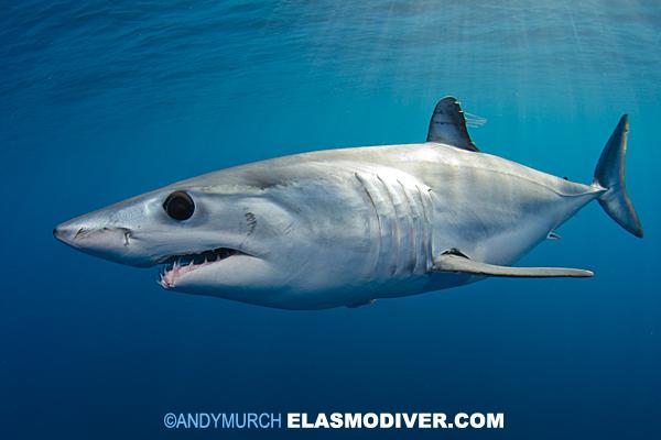 Mako Shark Images