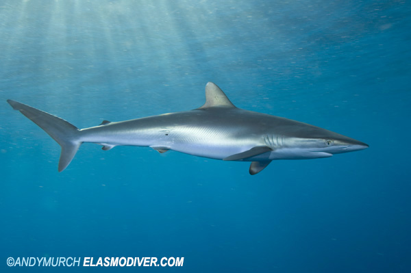 Alex Hofford on silky sharks – Sea Monster