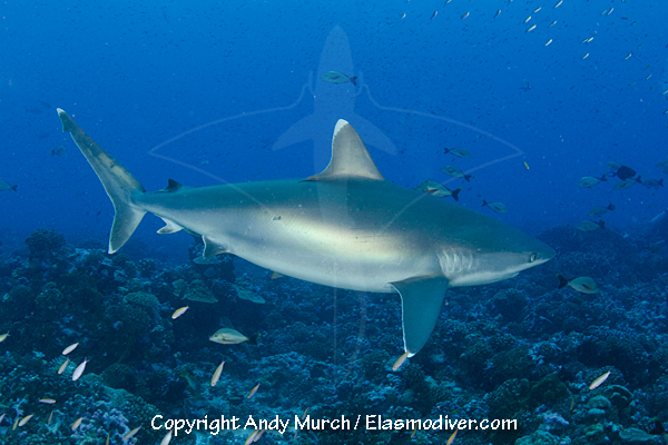 Silvertip Shark Pictures. Images of Carcharhinus ...
