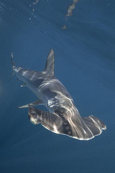 Smooth Hammerhead Shark Pictures - Sphyrna zygaena images