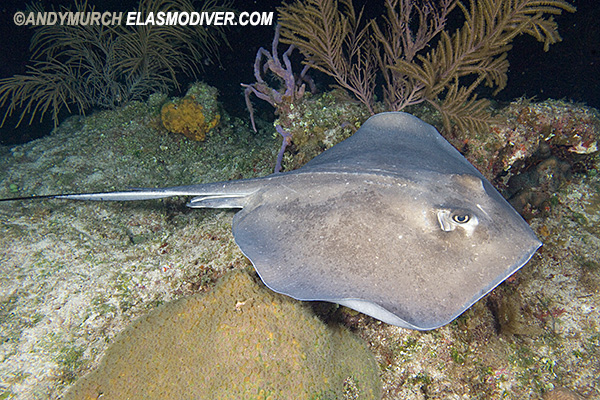 ... all available Southern Stingray Images in the Shark Pictures Database