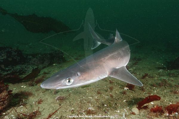 http://www.elasmodiver.com/Sharkive%20images/Spiny%20dogfish%20054.jpg