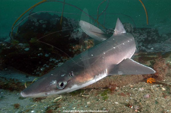 shark and spiny dogfish Habits & habitat : spiny dogfish are the most common and numerous species of shark, living in a multitude of habitats, in all arctic and temperate waters worldwide.