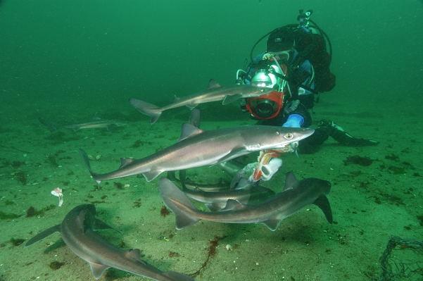 Кому интересно, катран (акула, собственно) выглядит так.