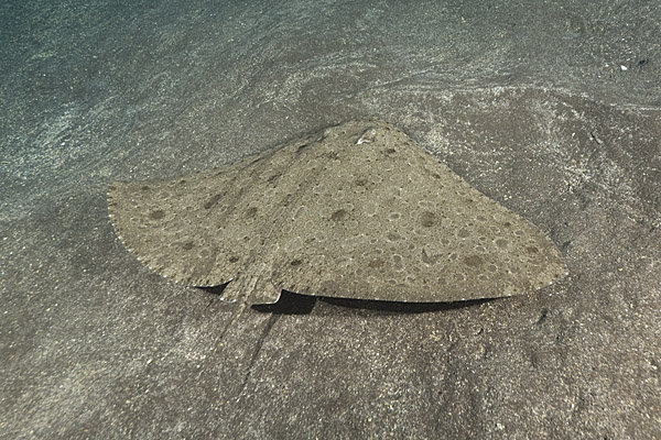 Spiny Butterfly Ray image