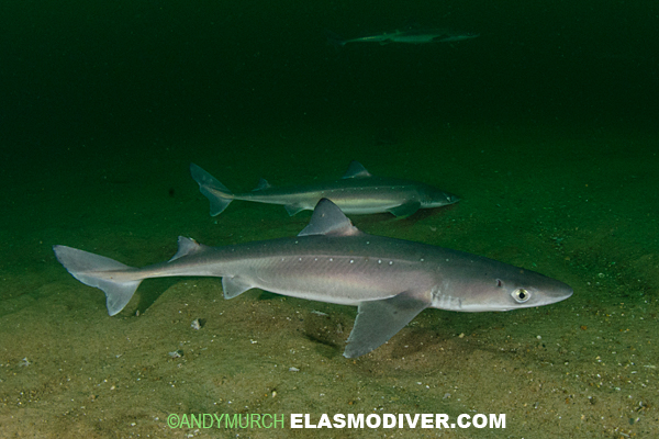 spiny dogfish shark Summary the spiny dogfish squalus acanthias is one of the most abundant  shark species in the world for over a century it has been both reviled and valued ,.