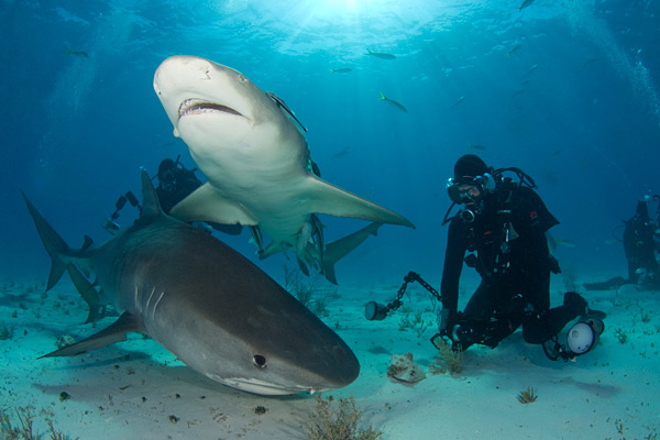 tiger shark and lemon shark with diver