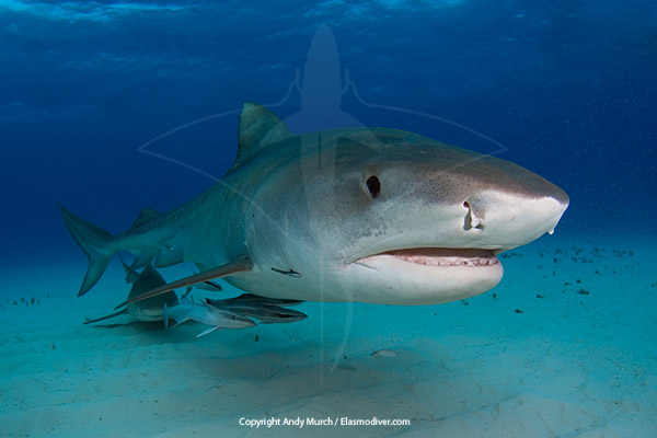 Tiger Sharks Information And Pictures About The Tiger Shark