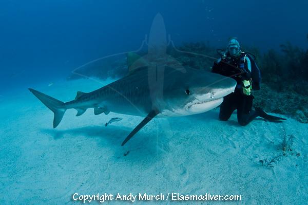 Tiger Sharks Pictures Tiger Shark 607
