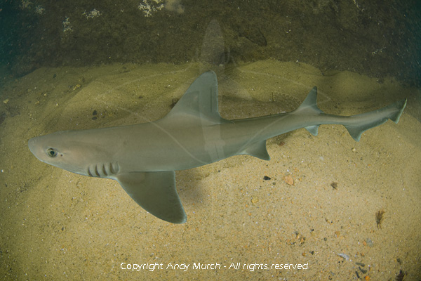 Smooth Dogfish Smooth Dogfish Shark Pictures