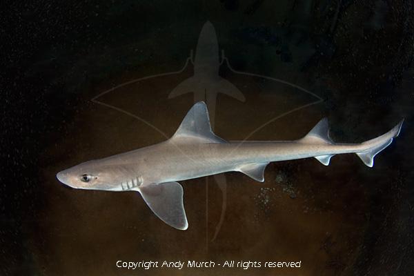 Smooth Dogfish Smooth Dogfish Shark
