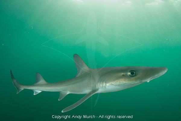 Nurse shark  Wikipedia
