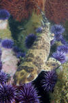 California swell shark
