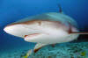 Caribbean Reef Shark picture 008