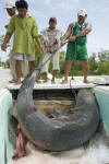 Transporting a dead tiger shark