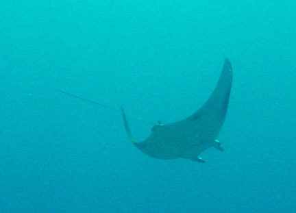 Manta Ray Manta Ray vs Devil Ray