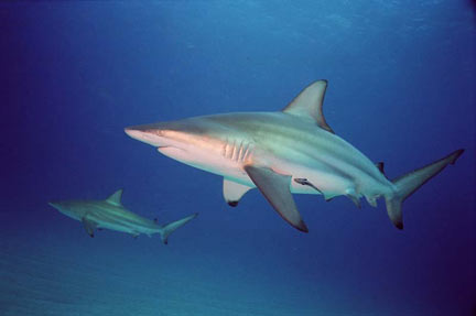 Black Fin Shark View all available shark and