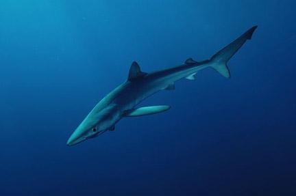 http://www.elasmodiver.com/images/Blue-shark-040.jpg