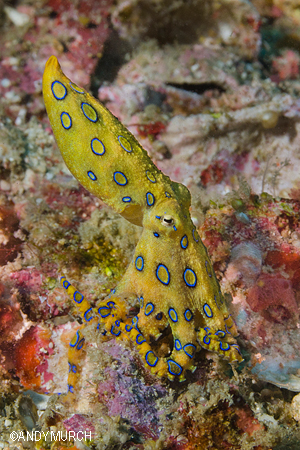 Blue Ringed Octopus Malapascua, Philippines.