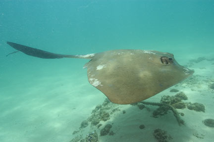 Cowtail Stingray Picture