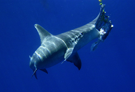 Hammerhead shark feeding on bait