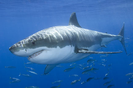 Great White Shark picture 7