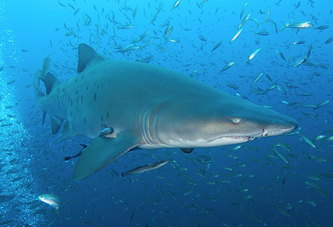 SANDTIGER SHARK  SANDTIGER SHARK...