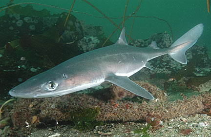 http://www.elasmodiver.com/images/Spiny-dogfish-059.jpg