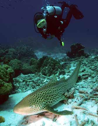 http://www.elasmodiver.com/images/Zebra-shark-12b.jpg