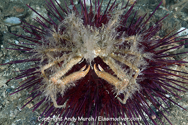 sea urchin decor.htm graceful decorator crab pictures images of oregonia gracillis  graceful decorator crab pictures