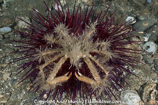Graceful Decorator Crab Pictures Images Of Oregonia Gracillis