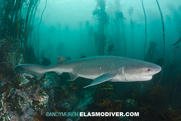 all about sharks seven paragraphs Broadnose sevengill shark facts this powerful shark can reach 3 m (almost 10 ft) in total length and up to 107 kg (236 lbs) its name comes from the presence of seven paired gill openings, compared to the five gills of most other sharks.