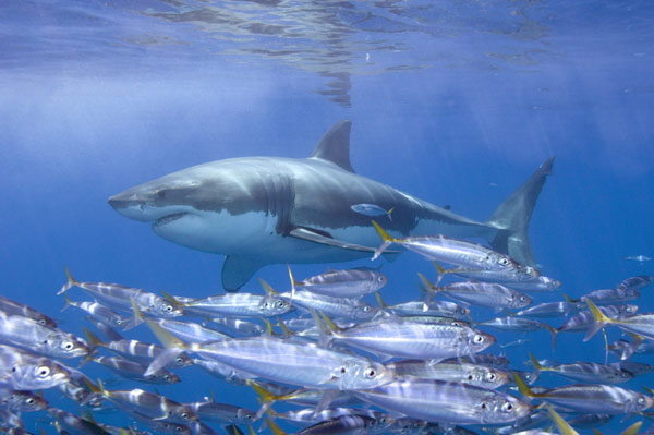 Great white shark pictures many images of great white for Great white shark fishing