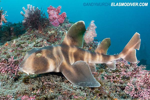 Japanese Bullhead Shark Heterodontus Japonicus