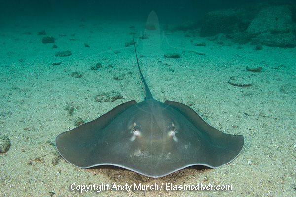 Longtail stingray Pictures - images of Dasyatis longus
