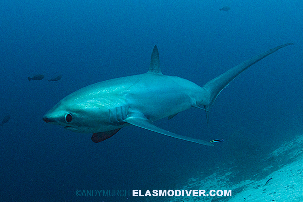 Pelagic Thresher Shark Information And Pictures Of Alopias