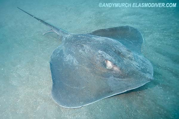 Roughtail Stingray Pictures