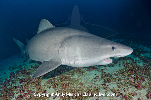 Smalltooth Sandtiger Shark Information and images of Odontaspis ferox