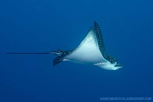 Spotted Eagle Ray Pictures
